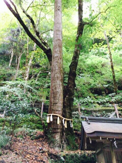 貴船神社連理の杉