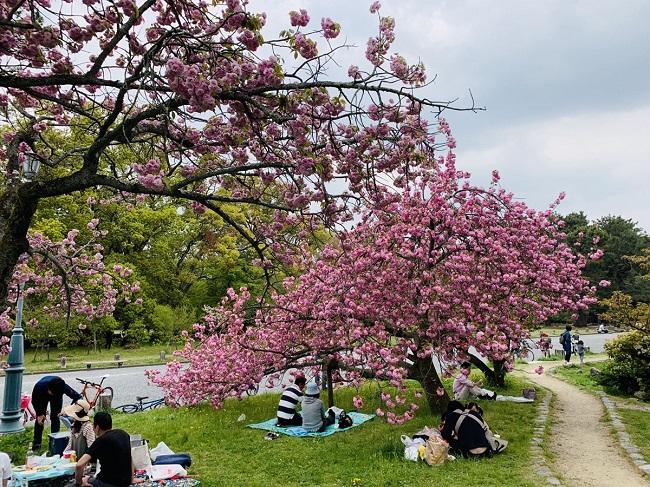 出水の小川桜シーズン