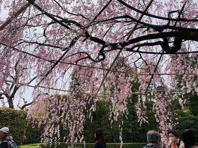 退蔵院紅しだれ桜